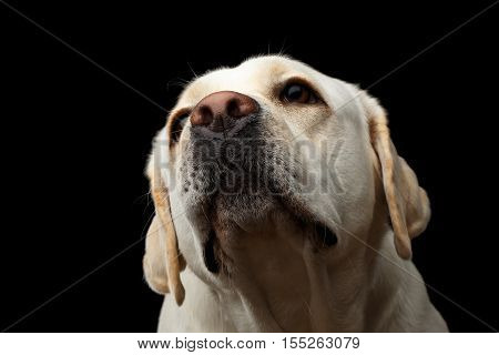 Close-up portrait of beige Labrador retriever dog raising up nose in front view isolated black background