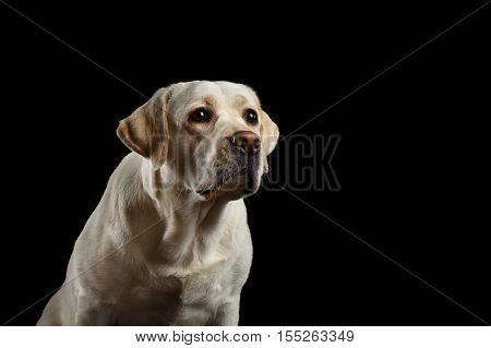 Close-up portrait of beige Labrador retriever dog with sad face in front view isolated black background