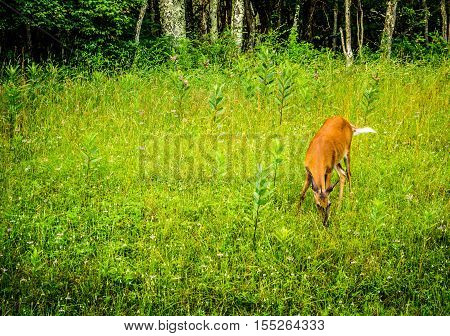 Young white-tailed deer eating grass in Shenandoah National Park, Virginia