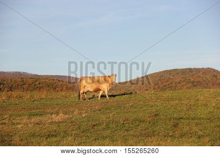 A dairy cow in a field.  Appalachian Mountains, West Virginia.