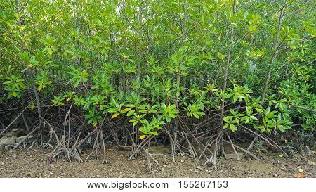 Mangrove forest background, Red mangrove in Thailand