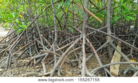 Air root of mangrove forest, Red mangrove in Thailand