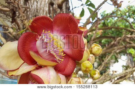 Closed up to Cannonball flower, religion tree