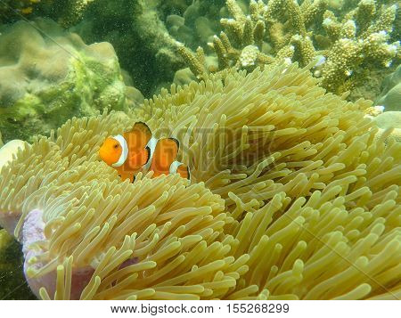 Sea anemone fish and sea anemone in the tropical sea