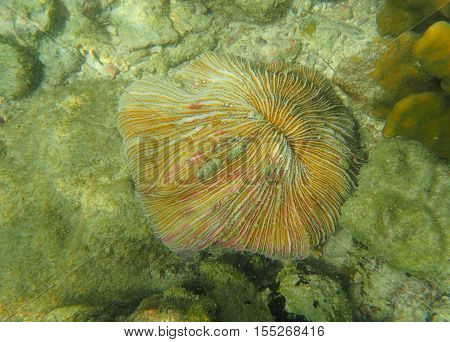 Selective focus on polyp of Mushroom coral (Fungia) on the tropical coral reef region