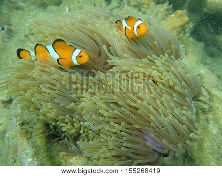 Sea anemone fish (nemo) in the sea anemone at the tropical coral reef