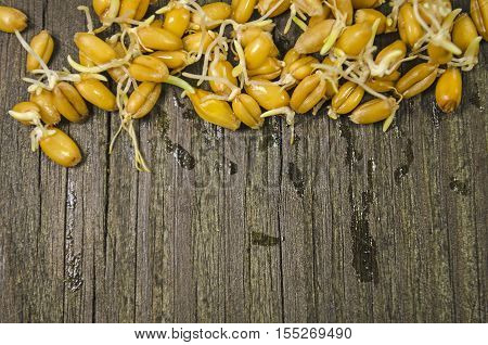 Sprouted Wheat Seeds