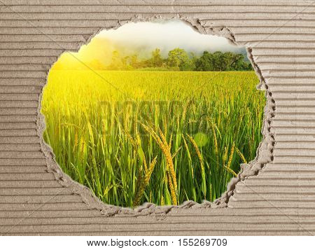 Paper made from rice. natural and eco friendly material.recycle craft brown rice seed flower texture.Green ear of rice in paddy rice field.Rice field in sunset time. vegetarian.dry rice.asia.