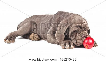 Young puppy italian mastiff cane corso playing with the red apple on white background.