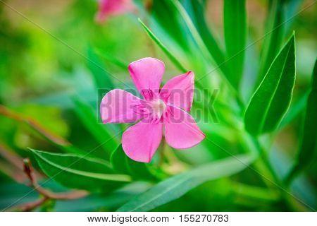 Flower of a pink oleander