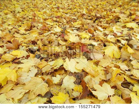 Autumn Leaves mainly fallen sycamore and some fallen beech leaves