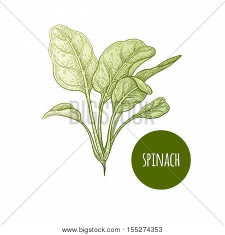 Lettuce spinach. Plant isolated on white background. Vector illustration. Hand drawing style vintage engraving. Greenery for create the menu recipes decorating kitchen items. Vintage.