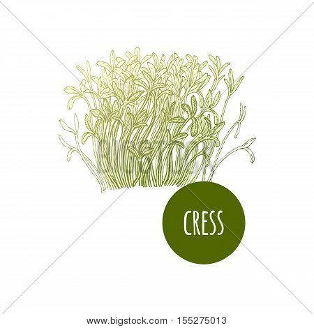 Lettuce cress. Plant isolated on white background. Vector illustration. Hand drawing style vintage engraving. Greenery for create the menu recipes decorating kitchen items. Vintage.