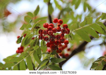 nature, plants, flowers, flora, summer, trees, mountain ash, harvest, red, red Rowan, distal, berries