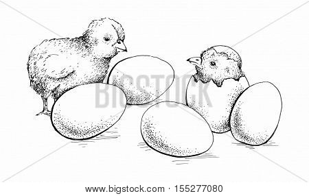 Chick peeking out of eggs. Series sketch illustration for print, infographics or other design working. Graphics, handmade drawing chick with eggs. Chicken image. Vintage engraving style.