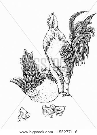 Illustration rooster and hen. Series of farm animals. Graphics, sketch, hand drawing birds family. Rooster fighter and a bully, ready to defend brood and chicken. Vintage engraving style. Family day