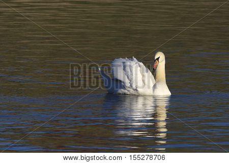 Mute swan Cygnus olor gliding across pond in golden light