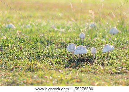 Mushroom poisoning growing on green lawn in a backyard.
