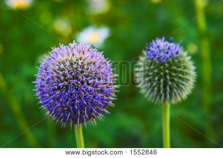 Blue Ball Flowers