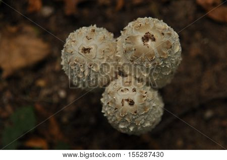 Fruiting bodies of the fungus aspergillus. Bialowieza Forest primary forest. poster