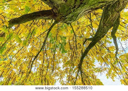 Tree foliage and branches from below in autumn season
