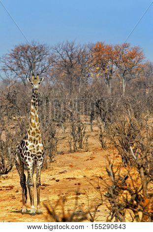 Lone Giraffe standing looking directly ahead in the bush in Zambezi National Park - Zimbabwe