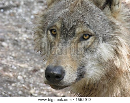Head of a North American timber wolf poster