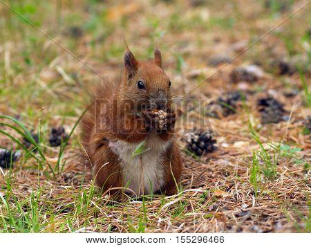 Sciurus vulgaris (Red squirrel) from family Sciuridae (Yakutia)