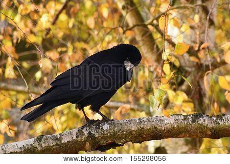 Beautiful Picture Of A Bird - Raven / Crow In Autumn Nature. (corvus Frugilegus)