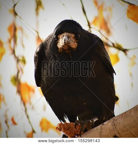 Funny expression angry bird. Beautiful picture of a bird - raven / crow in autumn nature. (Corvus frugilegus)
