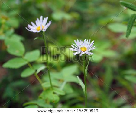 Aster sibiricus from the family Asteraceae (Yakutia)