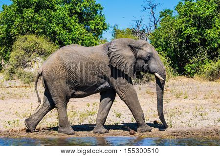 Botswana, Chobe National Park. The concept of exotic tourism. African elephant -  loner on a watering place in the Okavango Delta