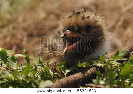 Tern chick waiting for food from their parents in a nest on the ground.