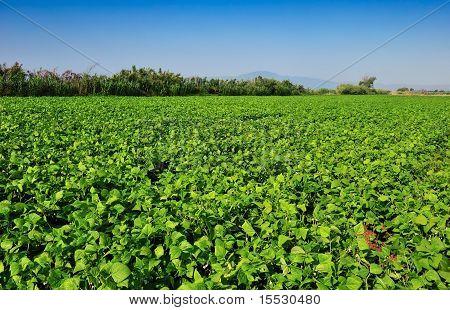 Large Bean Plantation