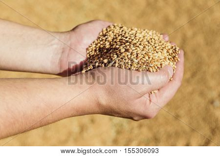 Men's hands holding a heap of of ripe wheat grains against the background of spilled grain