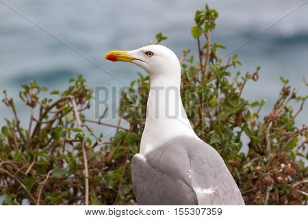 CA on beach, Ukraine, steppe. Larus macro photo with eyes. Seagull close up