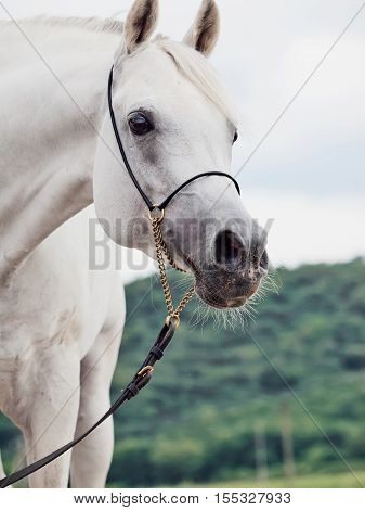 portrait of white purebred arabian stallion. close up