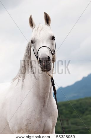portrait of white amazing arabian stallion at clouds background