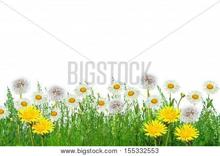 Wildflower daisies. Summer landscape. white chamomile flowers
