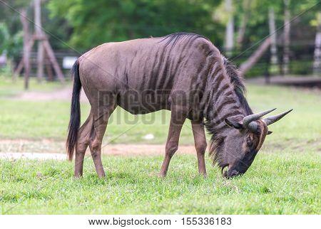 Blue wildebeest (Connochaetes taurinus) walking the green graze.