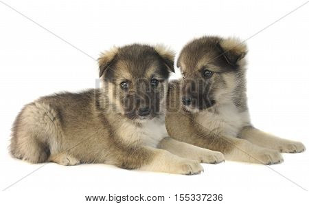 two Cute puppy of 1,5 months old on a white background