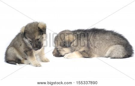 sleeping puppys of 1,5 months old on a white background