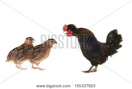 black cock and quails on a white background