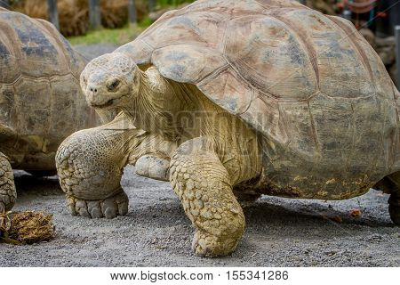 Giant grey tortoise standing on tropical island