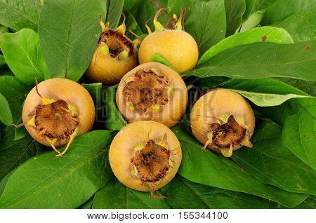 Group of common medlar fruit and leaves background