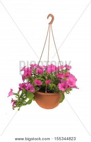 Pink flowering petunia in pot isolated on white background.