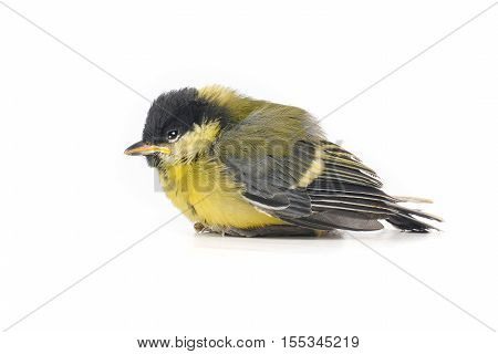 Baby bird of a titmouse isolated on white, studio shot