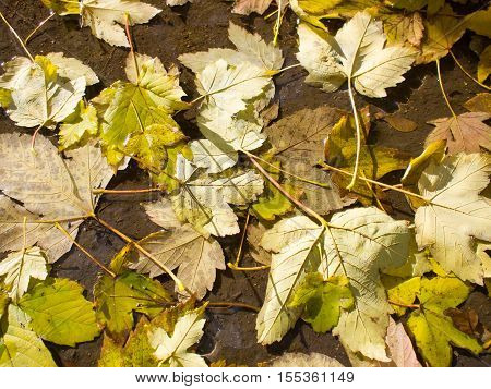 Top View Of A Wet Autumn Leaves In A Dirty Pool