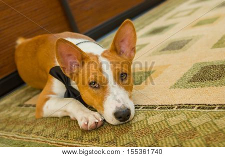 Indoor portrait of basenji dog lying at the floor and waiting for the master.