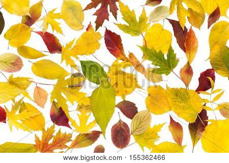 Autumn maple, ash-tree, aspen and oak leaves isolated on white background. Beautiful fall season yellow, red and brown foliage texture.